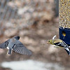 "Goldfinch to junco: ""Stay away!"""