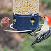 A house wren (left) and a red-bellied woodpecker share the bird feeder.